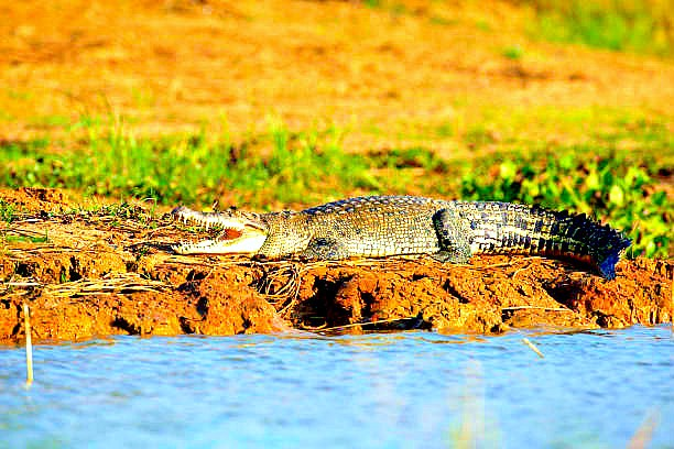 Siamese crocodile.jpg