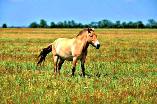 Przewalski's horse.jpg