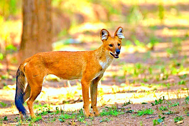 Dhole (Cuon alpinus); Image ONLY