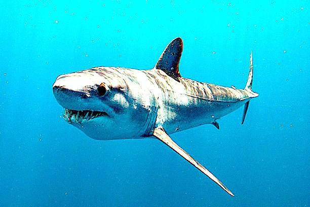 Longfin mako shark.jpg
