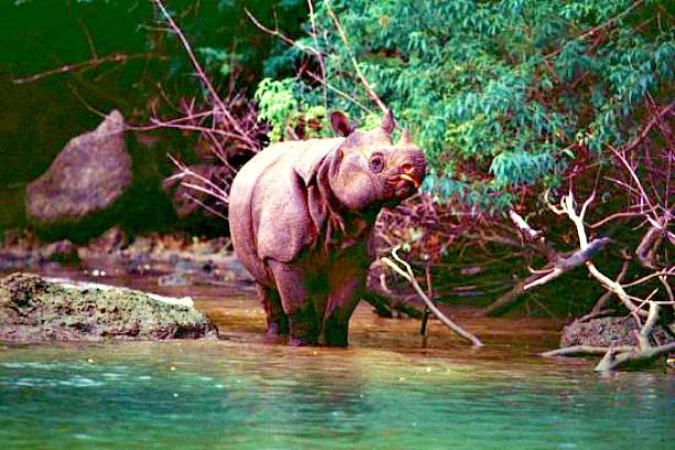 Javan rhinoceros.jpg