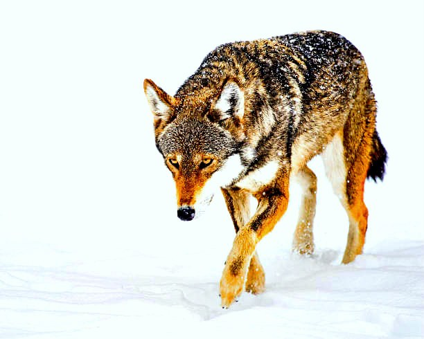 Red wolf (Canis rufus); Image ONLY