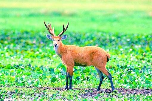 Marsh deer.jpg