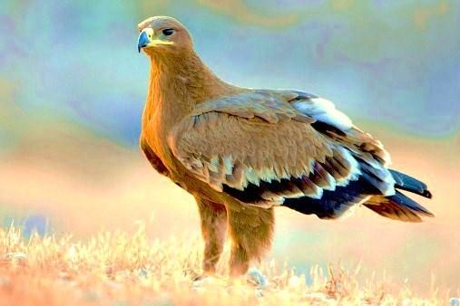 Steppe eagle.jpg
