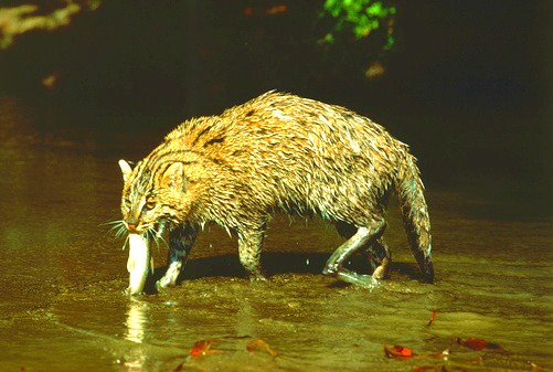 Fishing cat (Felis viverrina); Image ONLY