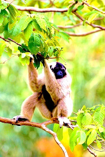 Pileated gibbon (Hylobates pileatus); Image ONLY