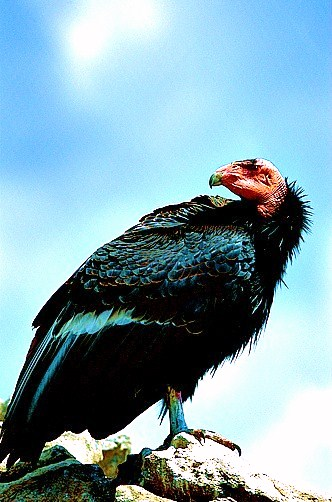 California condor (Gymnogyps californianus); Image ONLY