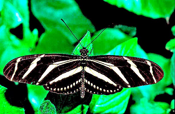 Zebra longwing butterfly (Heliconius charitonia); Image ONLY