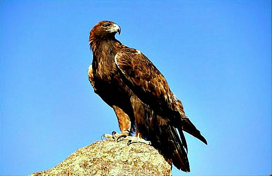 Golden eagle (Aquila chrysaetos); Image ONLY