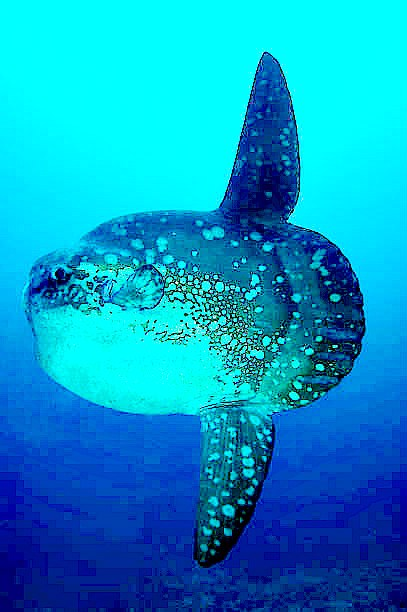 Ocean sunfish (Mola mola); Image ONLY