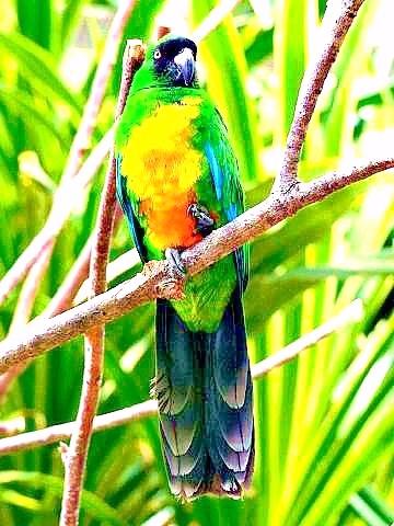 Masked shining parrot.jpg