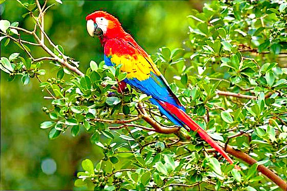 Scarlet macaw; Image ONLY