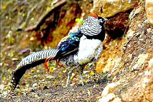 Lady Amherst's pheasant (Chrysolophus amherstiae); Image ONLY