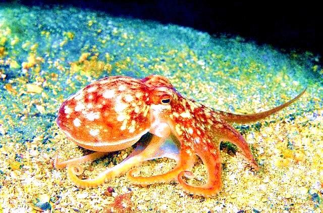 Horned octopus.jpg