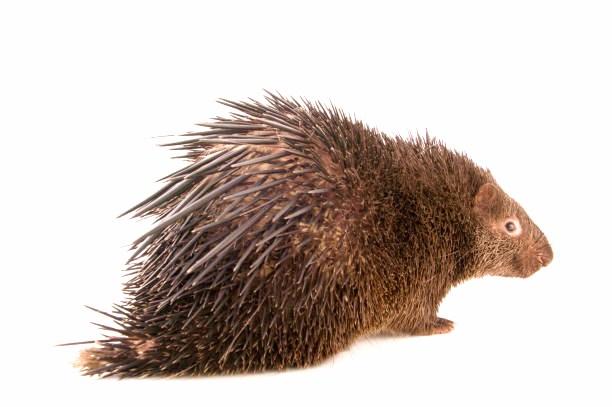 Philippine porcupine.jpg