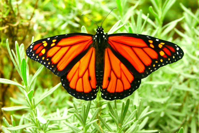 Monarch butterfly; Image ONLY