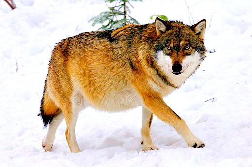 Grey wolf (Canis lupus); Image ONLY