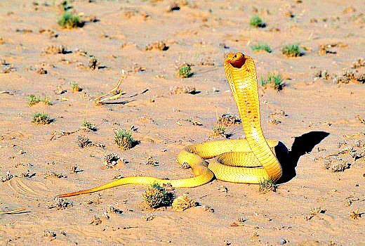 Cape cobra (Naja nivea); Image ONLY