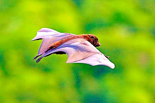 Blyth's flying fox (Pteropus melanotus); Image ONLY