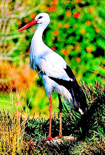 White stork (Ciconia ciconia); Image ONLY