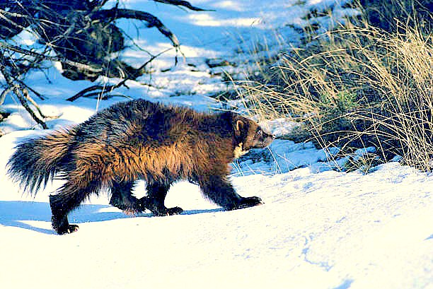 Wolverine (Gulo gulo); Image ONLY