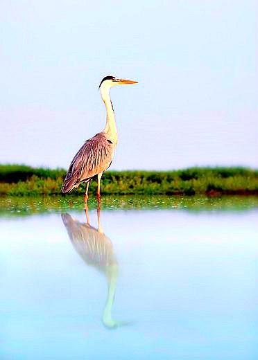 Grey heron.jpg