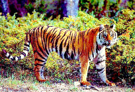 Tiger; Image ONLY