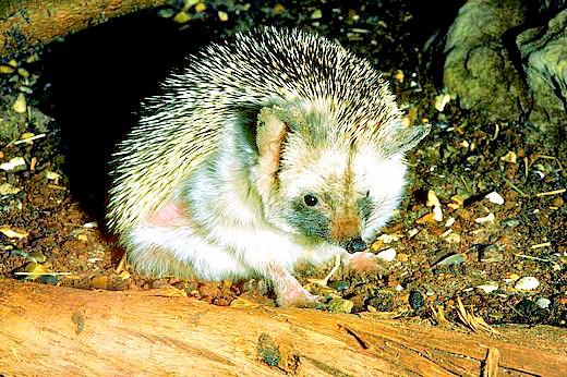 Long-eared hedgehog.jpg