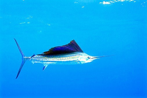 Atlantic sailfish (Istiophorus albicans) ; Image ONLY