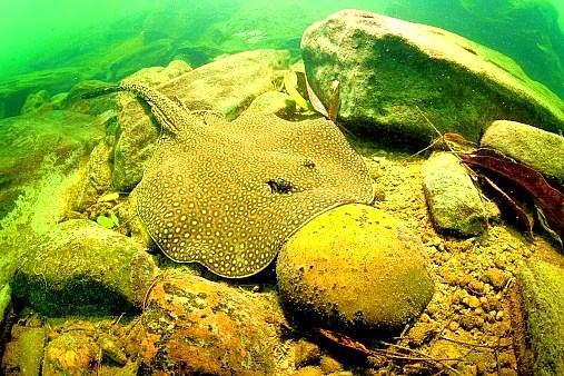 Ocellate river stingray.jpg