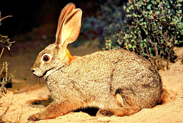 Riverine rabbit.jpg