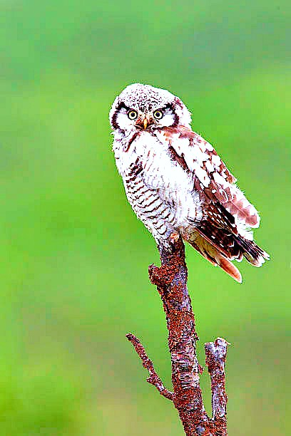 Northern hawk owl (Surnia ulula); Image ONLY