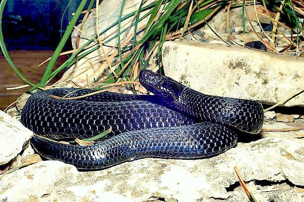 Caucasian viper.jpg