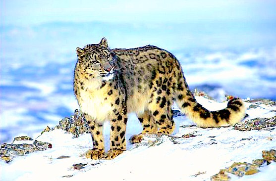 Snow leopard; Image ONLY