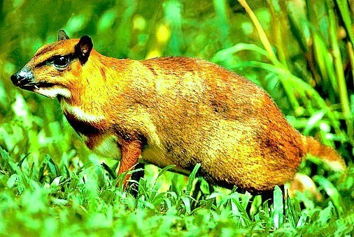 Greater mousedeer (Tragulus napu); Image ONLY