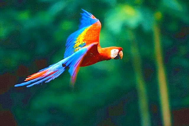 Scarlet macaw (Ara macao); Image ONLY