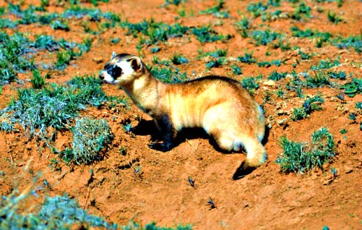 Black-footed ferret (Mustela nigripes); Image ONLY