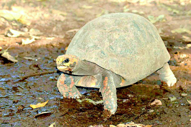 Red-footed tortoise (Geochelone carbonaria); Image ONLY