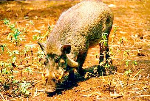 Javan warty pig.jpg