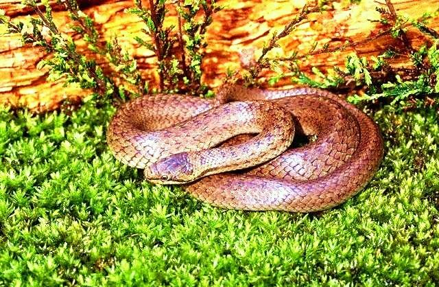 Smooth snake.jpg