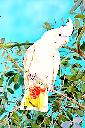 Philippine cockatoo (Cacatua haematuropygia); Image ONLY