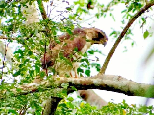 Congo serpent eagle.jpg