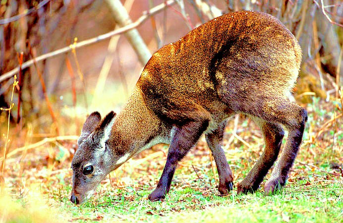 Alpine musk deer.jpg
