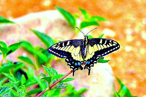 Anise swallowtail (Papilio zelicaon); Image ONLY