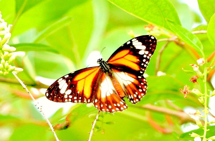 Black-and-white tiger butterfly (Danaus affinis); Image ONLY