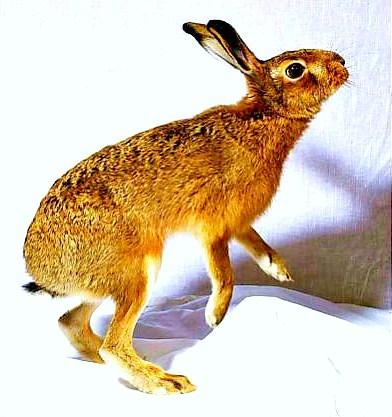Hispid hare.jpg