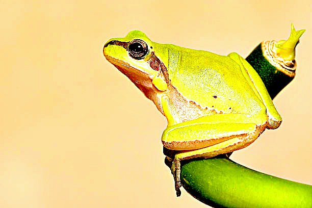 Lemon-yellow tree frog (Hyla savignyi); Image ONLY