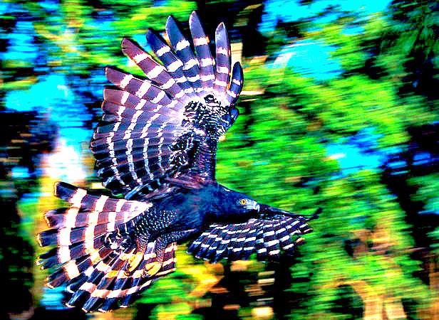 Black hawk eagle.jpg