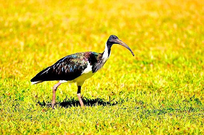 Straw-necked ibis.jpg
