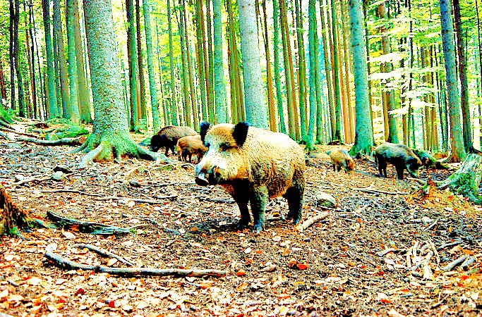 Wild boar (Sus scrofa); Image ONLY